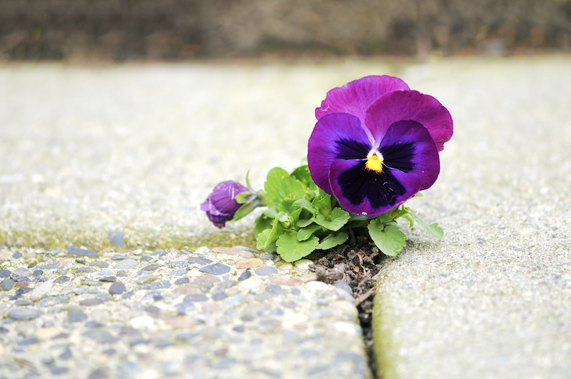 PurpleFlowerInCement copy